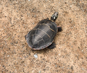 Welcome Introductions www.naturesociety.net #godscreation #paintedturtle #naturesociety