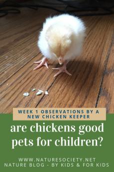 Day old chickens - first week as chicken owners www.naturesociety.net #arechickensgoodpets #raisingchickens #petchickens #bestpetsforkids